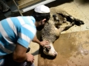 Суд Бельгии разрешил продолжать ритуальный забой скота